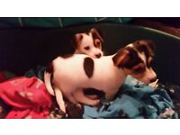 Gorgeous Short Legged Miniature Jack Russell Puppies