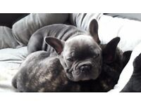 French bulldog puppy male blue