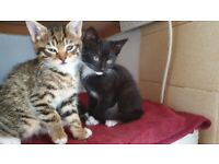 Cute tabby male kitten and black & white male kitten available