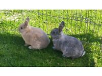 Mother and two young rabbits for sale