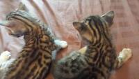 Our Bengal Cats Just Had Kittens!