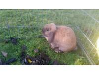 Two Lop-Earred Female Rabbits
