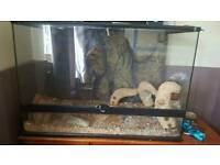 3 ft tank and 2 male bearded dragons
