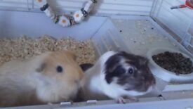 2 female Guinea Pigs with indoor cage