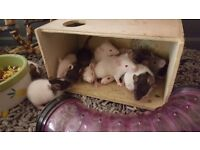 Beautiful Baby Rats for sale !