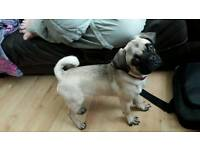 Pug/juggle pup. Female. 5-6 months old. Trained.