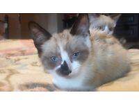 Siamese X Tabby Kittens