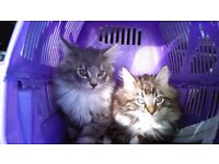 Beautiful fluffy Maine Coon kittens