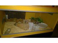 Western hognose snake,new vivarium,heat mat and thermostat.