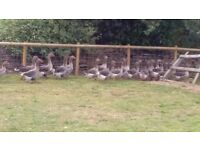 toulouse geese last years birds