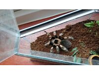 Female mexican red knee
