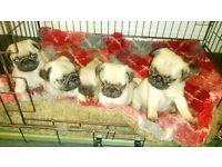 pug pup not French bulldog/British bulldog/chihuahua/ russell