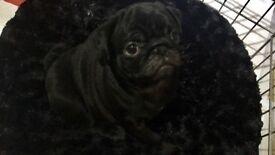 Kc reg pug puppies for sale..ONE BLACK MALE LEFT