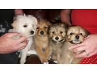 4 Adorable pups yorky/pom