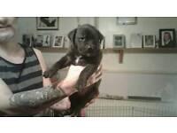 Puppys rottweiler cross brindle mastiff for sale