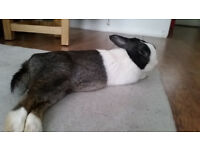 x2 Neutered coupled rabbits to a home with a garden/large space