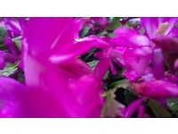 Beautiful Christmas Cactus Plants for sale - Schlumbergera Enigma - Very Large