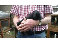 Beautiful black netherland dwarf buck rabbit ready now for loving home