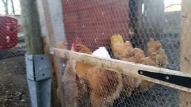 4 Buff Orpington Hens for sale