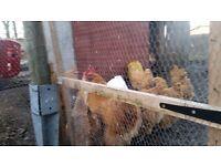 4 Buff Orpington Hens for sale