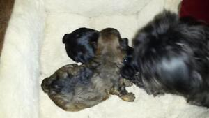 Yorkie tsu puppies for sale just black is available now