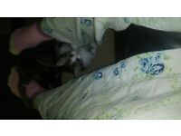 2 male 2 female kittens for sale 2 tabby 2 tabby and white all ready to be rehomed