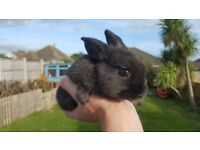 Two black baby bunnies for sale