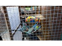 Ferrets x 6 with large cage