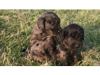 Stunning f1 Merle Cockapoo puppies for sale