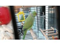 Parrot Indian Ringneck For Sale