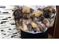 4 jug cross Yorkshire terrier puppies for sale out of a litter of 6 3boys and 1 girl left