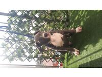 American Bully male pup