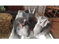Lovely blue Netherland Dwarf baby rabbits looking for loving homes