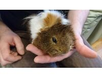 2 gorgeous longhaired guinea pigs