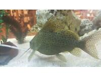 LARGE AFRICAN SYNODONTIS CLEANER CATFISH