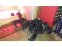 Labrador bitch 13 weeks Kennel club registered £400