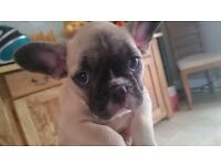 stunning fawn french bulldogs,ready now,kc reg bulldog,frenchies