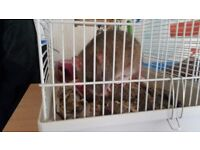 Rat and cage for sale