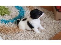 Jack cross bichion pups white and black good markings ready to go