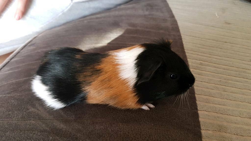 2 x male baby guinea pigs