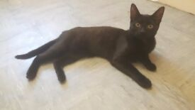 6 month old black female cat for sale
