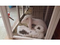 2 female rabbits for sale with a hutch