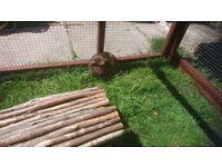 1 female guinea pig