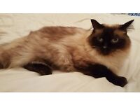 Longhaired Ragdoll pure bred and a Persian ragdoll x