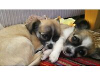 Beautiful KC registered Chihuahua Puppies for sale
