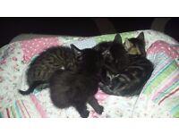 Four 8 week old kittens