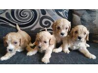 Stunning Apricot Cavapoo Puppies