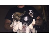 Shih tzu puppies 3 little boys left looking for forever homes.