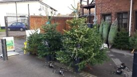 REAL CHRISTMAS TREES FOR SALE - £25 each