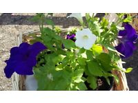 Petunias - mixed colours - only 50p a pot (annual flowers / plants)